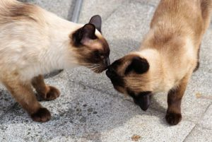 Two Siamese cats sniffing noses