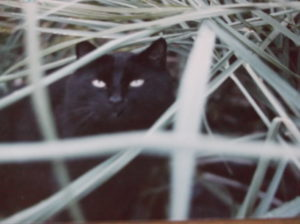 Black cat peering through tall grass blades