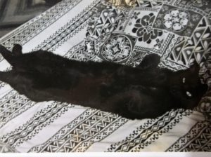 Mellow black cat lying on his back