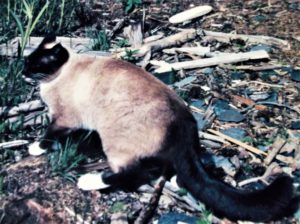 Lou (Siamese cat) outside