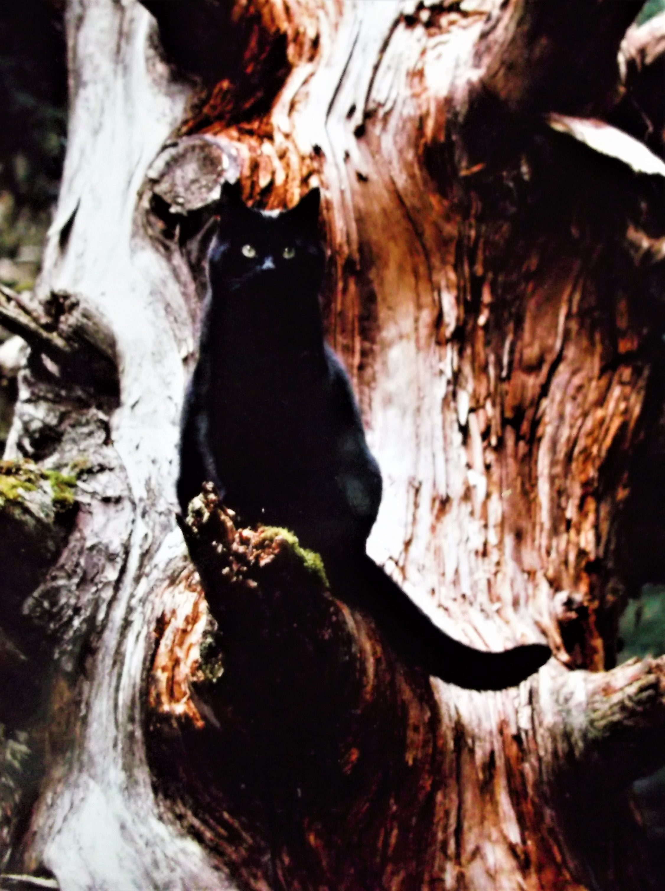 black cat sitting on standing dead limb
