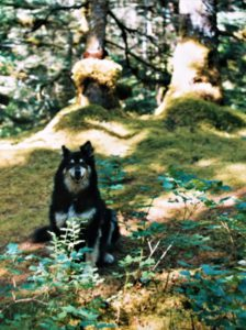 large black dog with white mask; underbelly; long fur