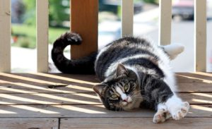 Dark tiger American shorthair, white stomach, lying down outside