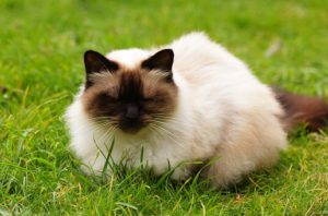 long-haired Himalayan Siamese, seated in grass.