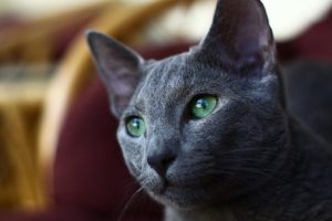 Russian blue, head and shoulders, green eyes