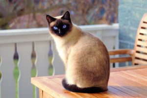 Siamese cat seated on table on an outside deck