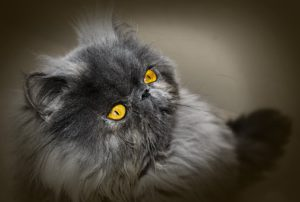 Grey Persian cat with yellow eyes.