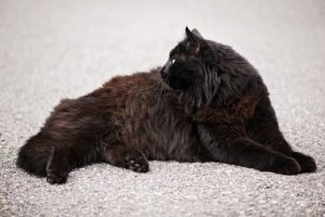 black angora cat, lying down