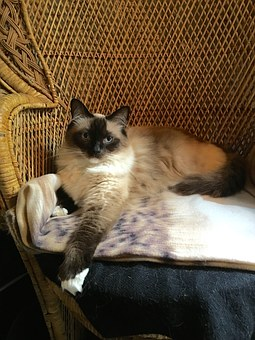 Birman, 4 white feet, lounging in chair
