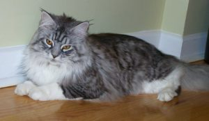 Grey and white Maine coon cat, lying down