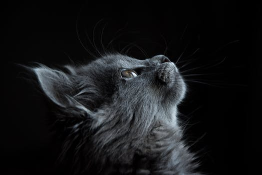 head of dark grey cat looking up
