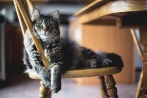 Grey tiger cat sprawled on a kitchen chair