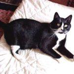 Carlos (tuxedo cat) on white blanket