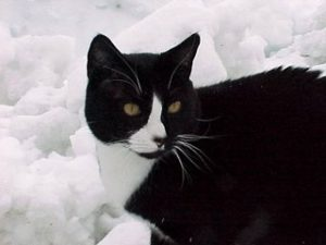 Carlos, a cat's cat, posing in the snow