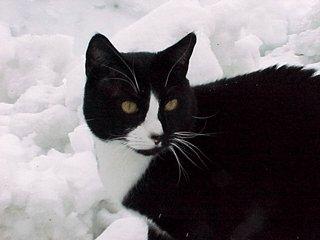 tuxedo cat in snow