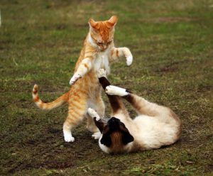 Orange cat, Siamese cat playing