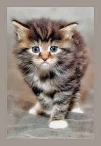 Portrait of grey tiger kitten with white feet