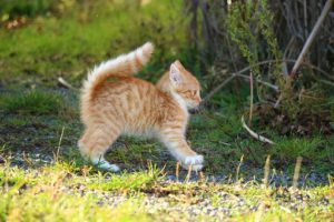 Tiger kitten in startle mode, fur and tail fluffed