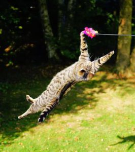 Grey tiger cat flying after toy on string