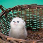 Scottish Fold white kitten in basket