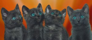 Portrait of 4 dark grey kittens, blue eyes