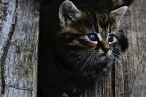 Maine Coon kitten peering between boards of fence