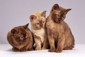 Three kittens, shades of chocolate brown