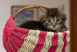 Kitten seated in pink and white basket