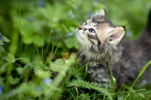Grey kitten, raised head, in outdoor greenery