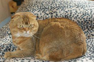 Orange Scottish Fold on speckled blanket