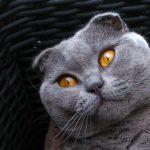 Scottish Fold grey cat in basket