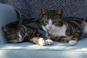 pair of dark tiger cats, lying down