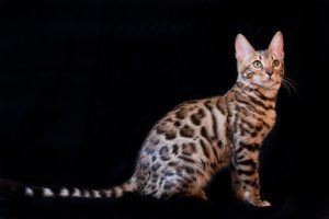 Bengal cat, stripes and rosettes