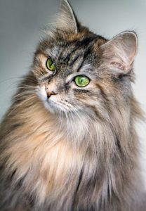 long-haired silver cat, head and shoulders