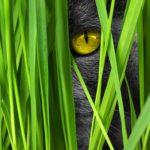 yellow eye of grey cat peering through reeds