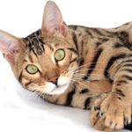 Bengal cat, tan with black stripes, head, shoulders