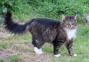 Norwegian Forest cat, grey, longhaired, white feet
