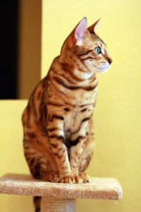 striped Bengal cat sitting on flat-topped post