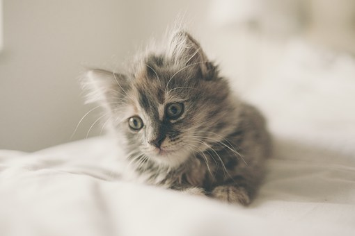 grey kitten, white background