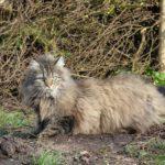 Very furry grey Norwegian Forest cat