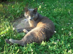 Blue-grey cat lying outside in grass