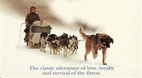 Buck leading dog team