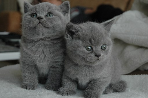 2 blue-grey kittens, sitting