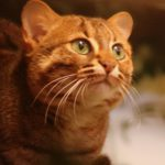 Head of orange cat, greenish eyes