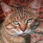 orange cat, yellow-green eyes