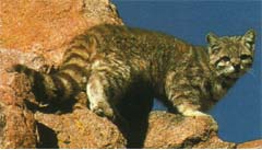 Striped cat with bushy tail on rocks