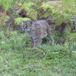 Grey cat with mottled coat in jungle