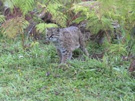 grey cat, mottled coat, jungle