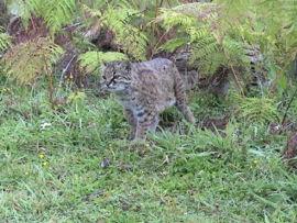 grey cat, mottled coat, jungle