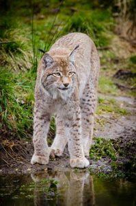 lynx walking